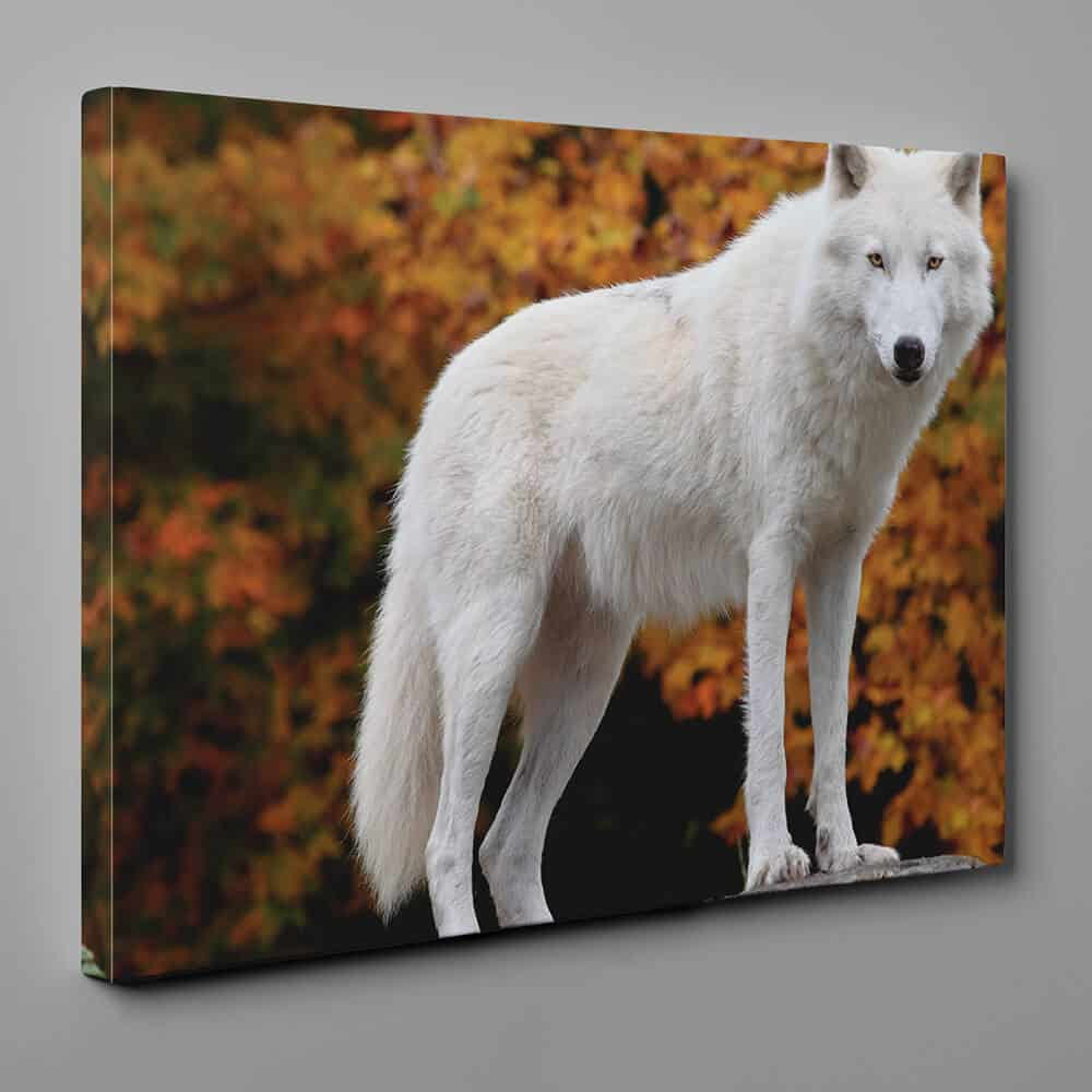Arctic Wolf In Fall Canvas Wall Art