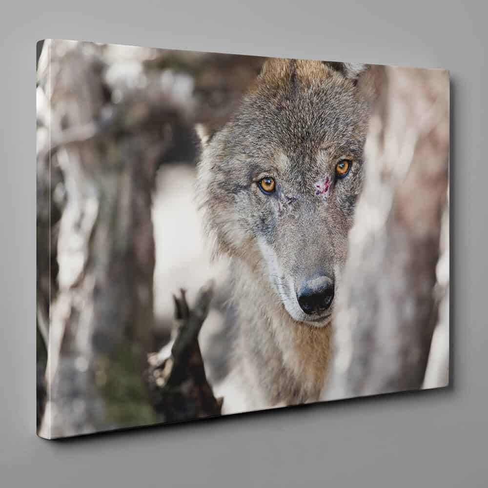 Gray Wolf Stalking Its Prey Canvas Wall Art