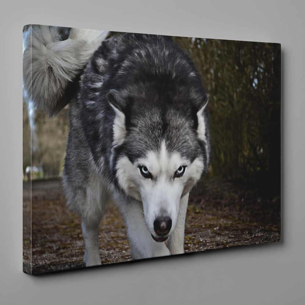 The Intimidating Stare Of The Wolf Canvas Wall Art